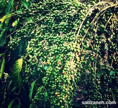 درخت قهوه