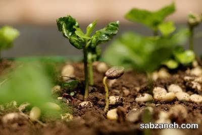 بذر گیاه قهوه