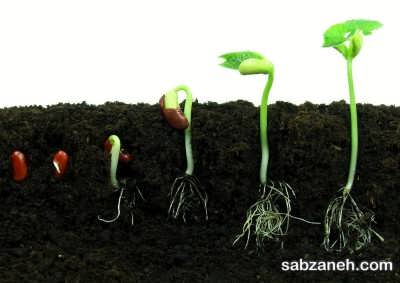 کاشت و پرورش چلغوز