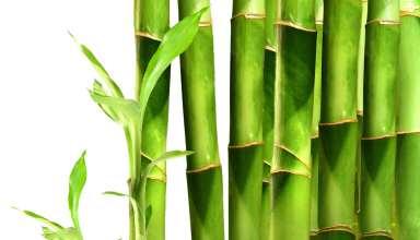 زرد شدن برگ بامبو چه دلیلی دارد؟