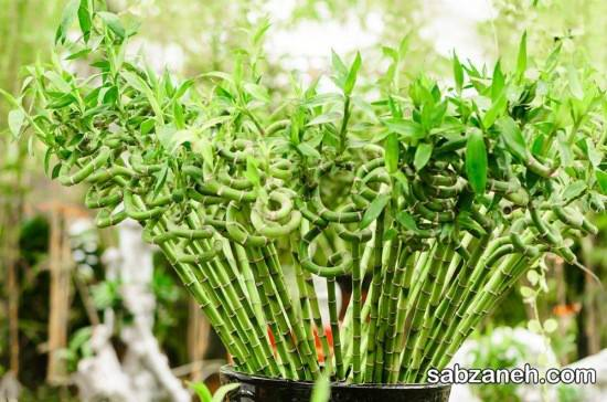 نکات مهم در پرورش بامبو