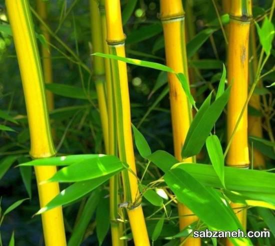 چرا برگ گیاه بامبو زرد می شود
