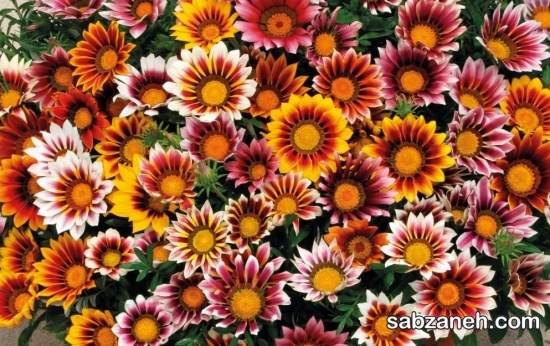 پرورش و نگه داری گل گازانیا
