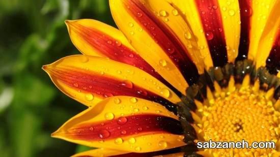 معرفی گیاه گازانیا