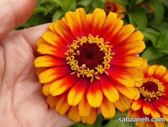 نحوه صحیح کاشت گل آهار