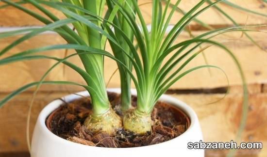 گیاه شناسی گل لیندا