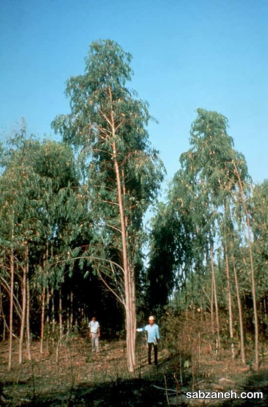 پرورش اکالیپتوس در جنگل