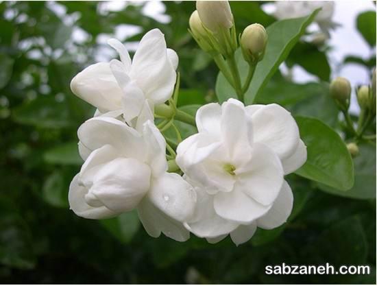 نحوه پرورش و کاشت گل یاسمن