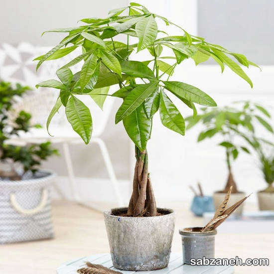 زیبایی گیاه پاچیرا