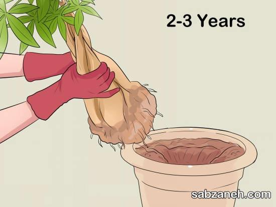 تعویض گلدان برای نگهداری گل پاچیرا