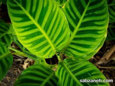 پرورش گیاه کالاتیا