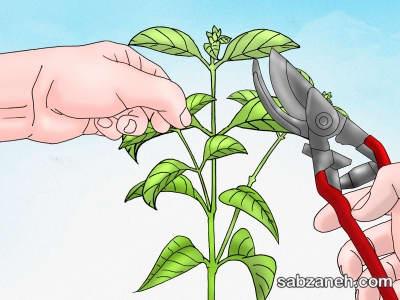 هرس کردن برای تکثیر درختچه توری