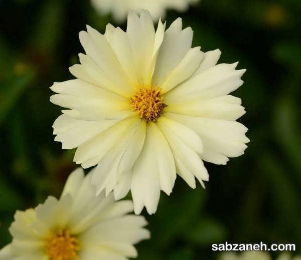 گل اشرفی دارای تنوع رنگی