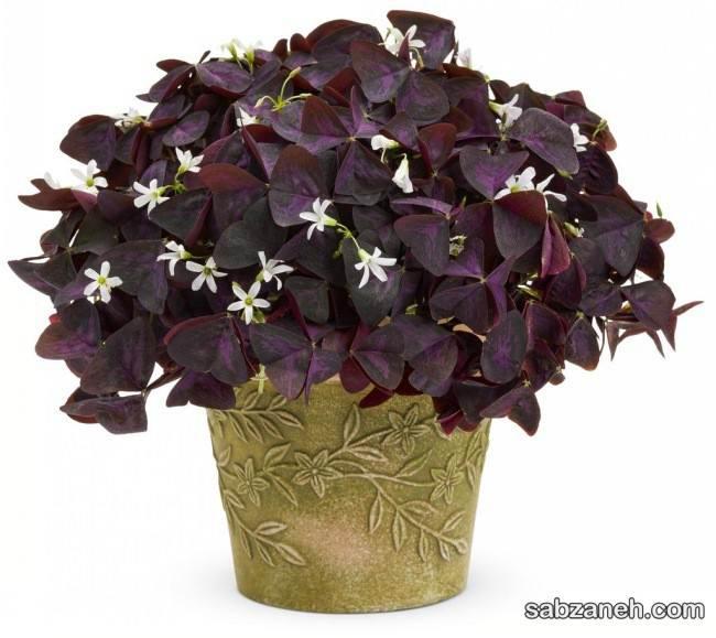 نگهداری گل اگزالیس