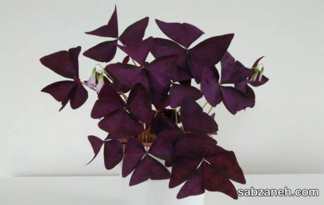 پرورش گل اگزالیس