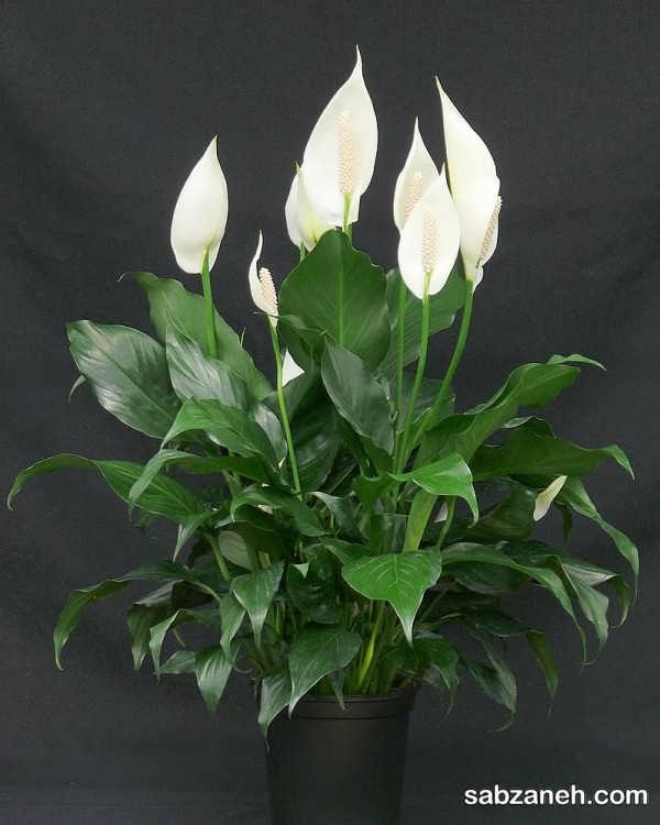 نمونه ای از گل اسپاتی فیلوم