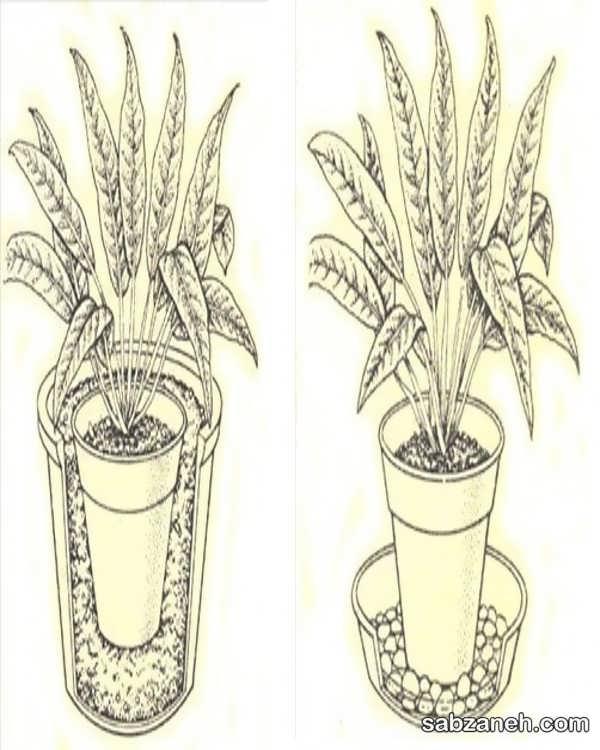 پرورش گل اسپاتی فیلوم