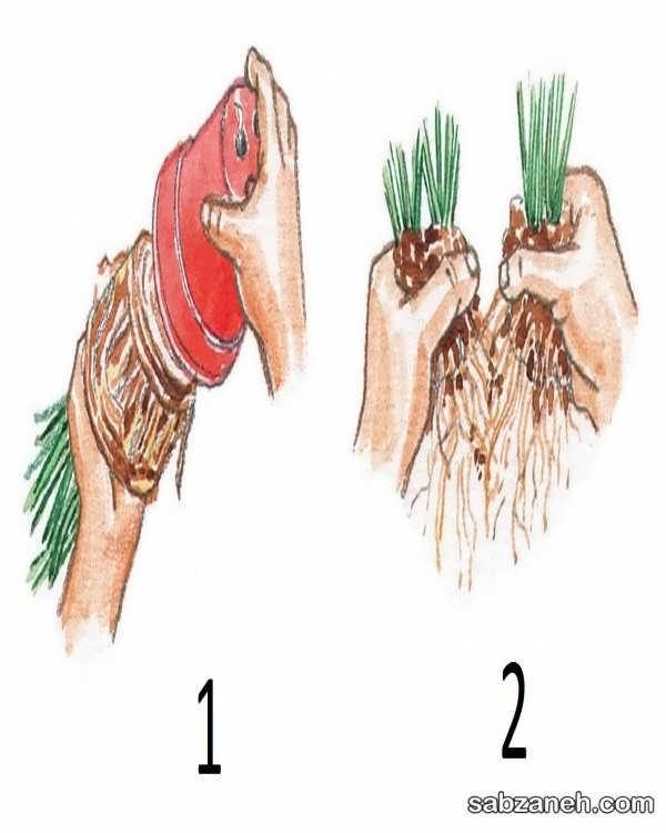 نحوه ی تکثیر گل اسپاتی فیلوم