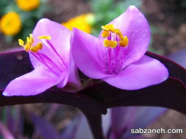 گل های گیاه قلب ارغوان
