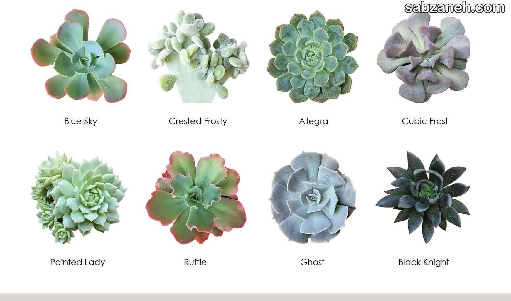 انواع گل آچوریا لب صورتی