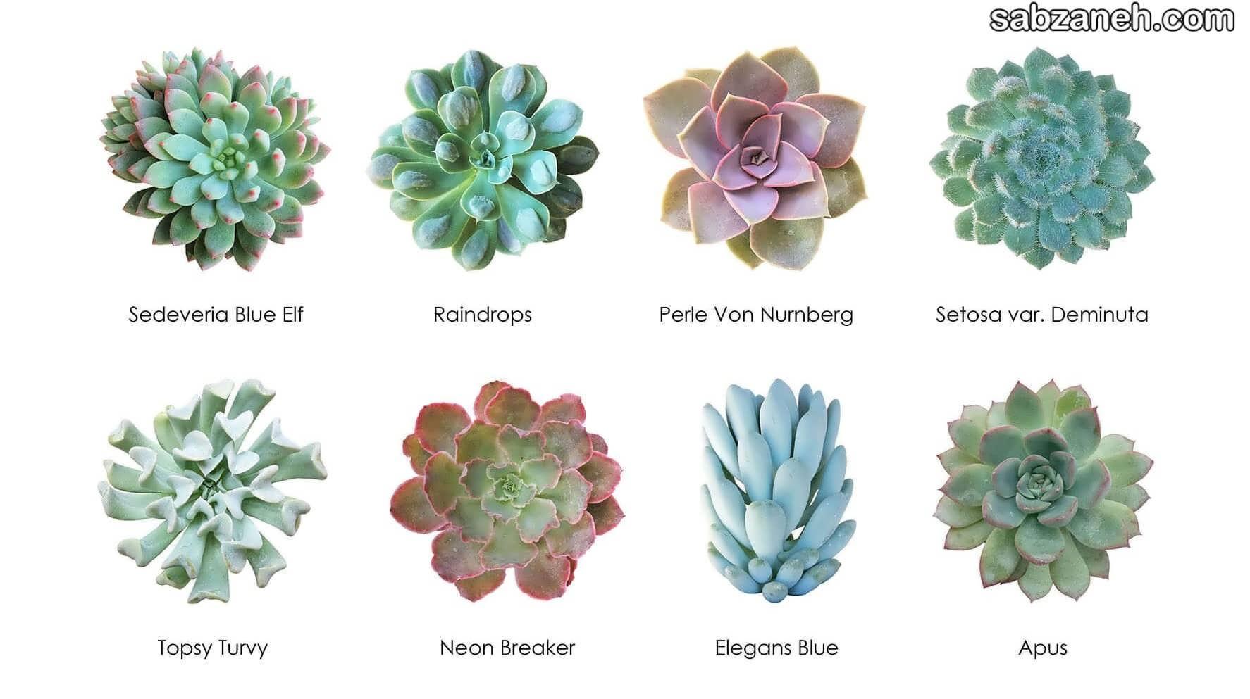 انواع گل آشوریا
