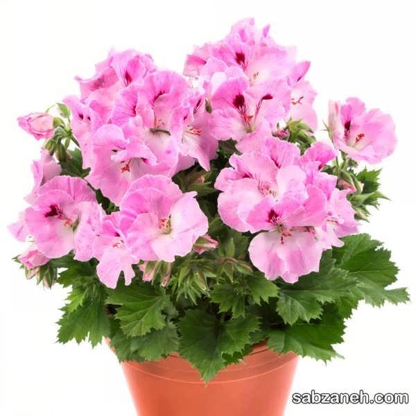 پرورش گل شمعدانی اژدر یا رگال