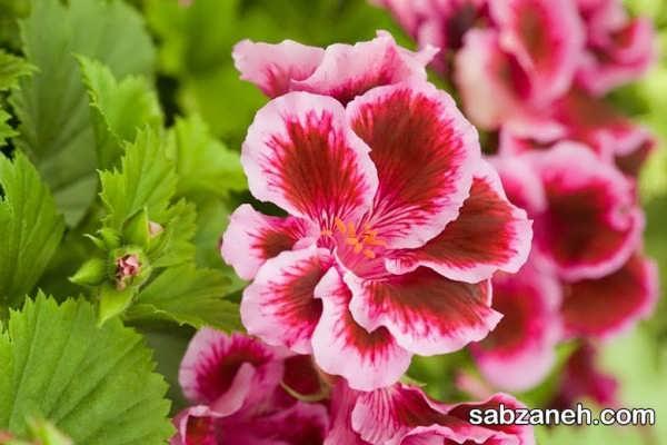 گل شمعدانی آلمانی یا شمعدانی اژدر