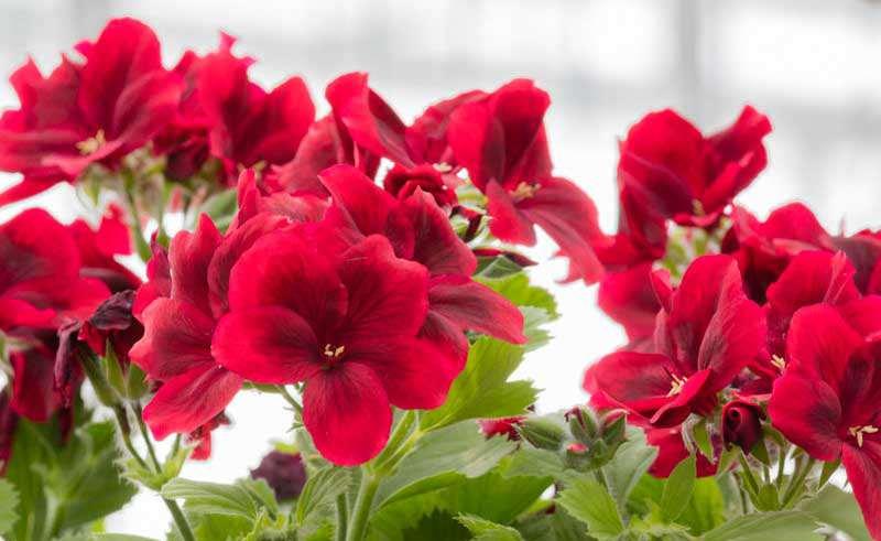 پرورش گل شمعدانی اژدر