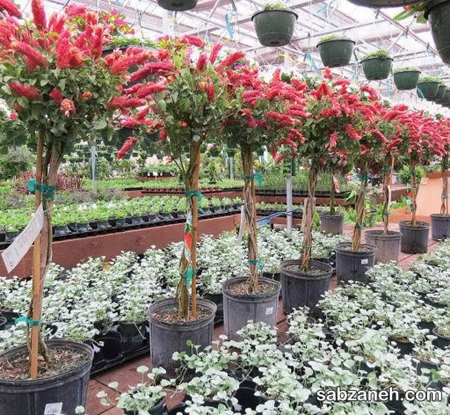 پرورش گیاه ناوک در گلخانه