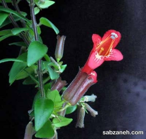 شرایط رشد و پرورش گیاه رژ لب