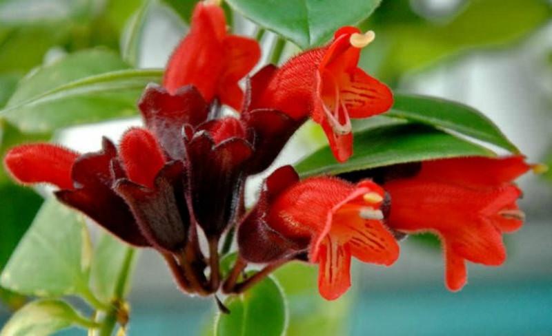 نحوه رشد و پرورش گیاه اسکینانتوس