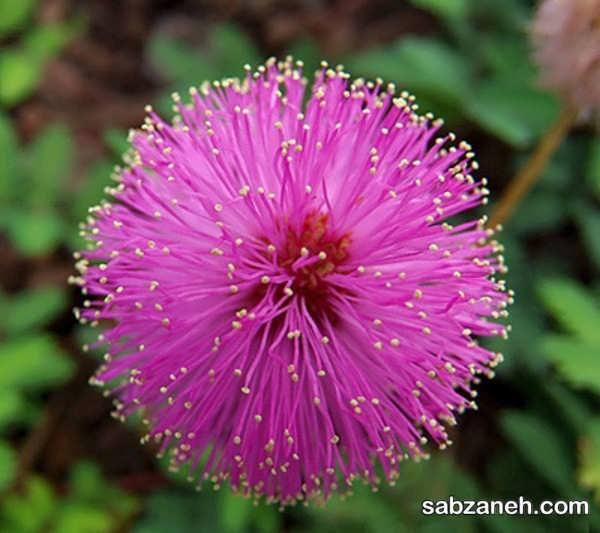 شیوه پرورش و تکثیر گل قهر و آشتی