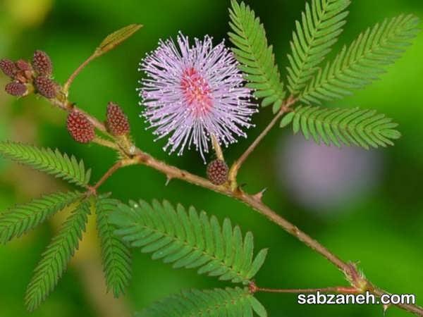 شرایط رشد و تکثیر گیاه قهر و آشتی
