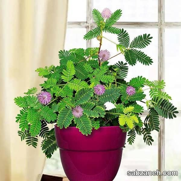 نحوه رشد و پرورش گیاه قهر و آشتی