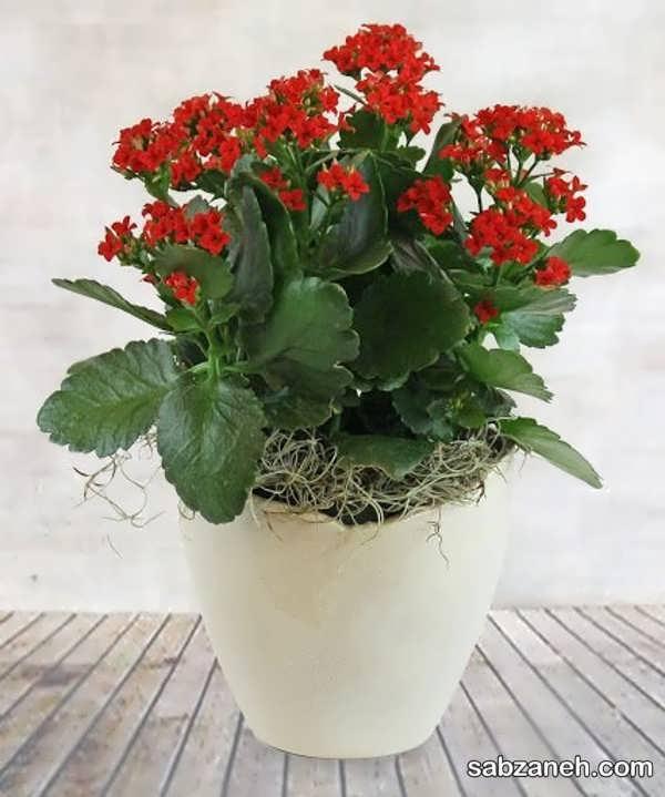 شیوه ازدیاد گل کالانکوئه