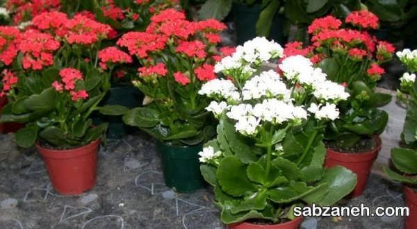 نحوه پرورش و ازدیاد گل کالانکوئه