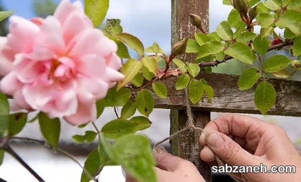 نحوه قلمه زدن گل رز با سیب زمینی