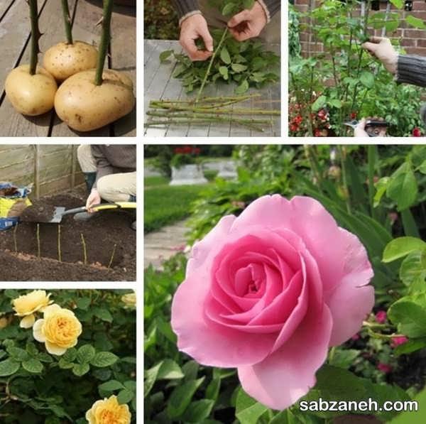 آموزش قلمه زدن گل رز با سیب زمینی