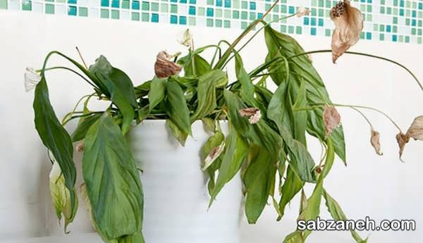 انواع روش های مختلف رفع پژمردگی گیاهان