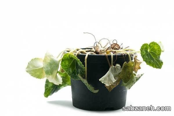 نحوه رفع پژمردگی گیاهان