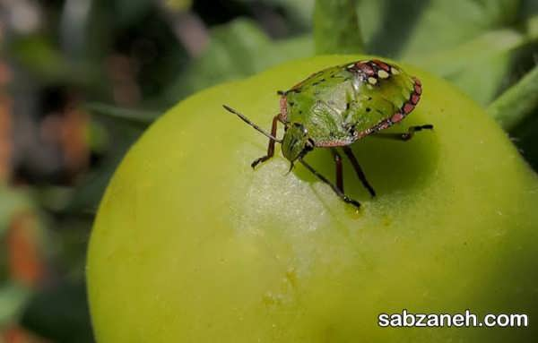 انواع راهکارهای مناسب دفع آفات گوجه فرنگی