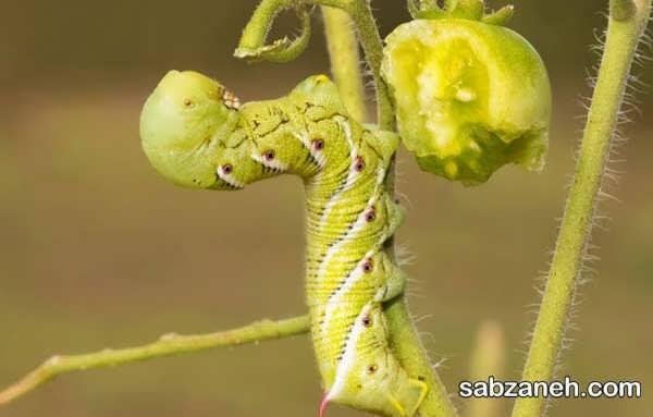 انواع روش های کاربردی مبارزه با آفات گوجه فرنگی
