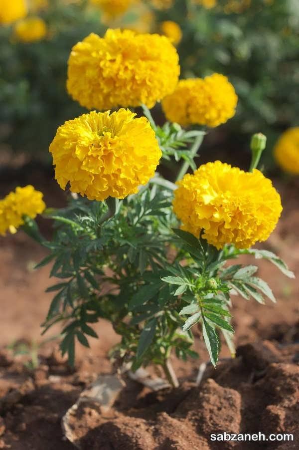 تکثیر گل جعفری در خزانه