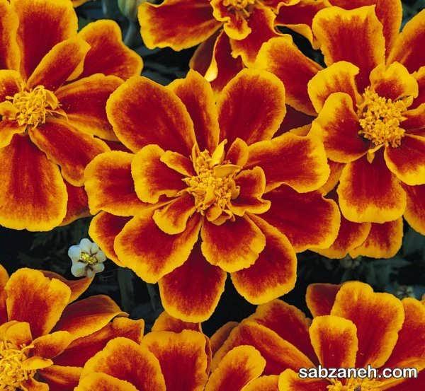 تکثیر گل های جعفری در باغچه