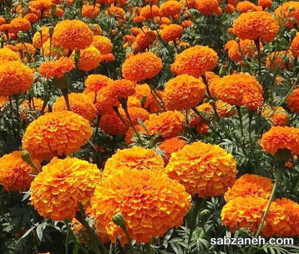 تکثیر گل جعفری نارنجی