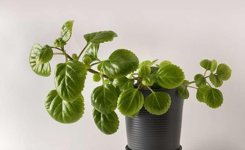 نحوه رشد و پرورش گل پیچک سوئدی