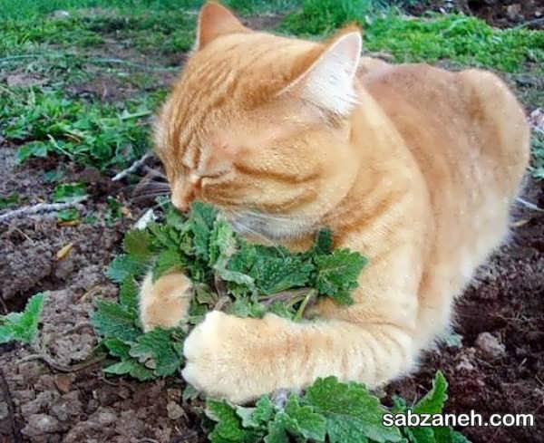 نحوه نگه داری گیاه علف گربه در خانه