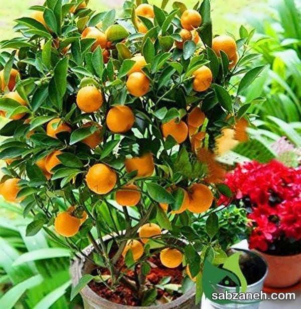 شیوه کشت و پرورش دانه پرتقال