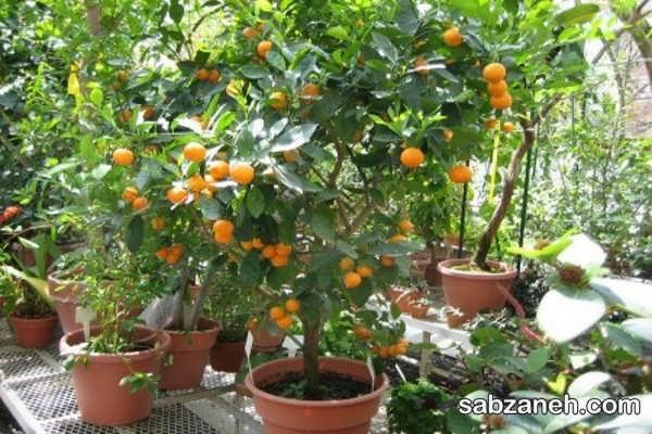 نحوه کاشت هسته پرتقال