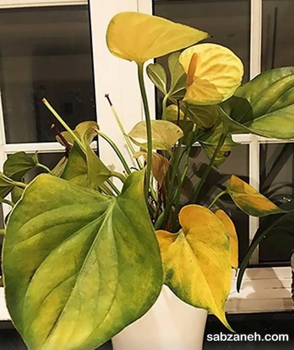 علت مهم و اصلی زرد شدن برگ گیاه